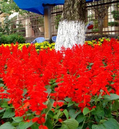 Cây hoa Xác Pháo