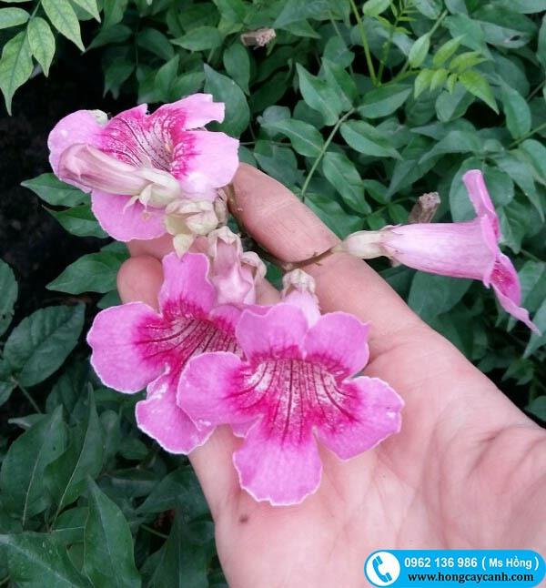 Cây Hồng Thiên Hương