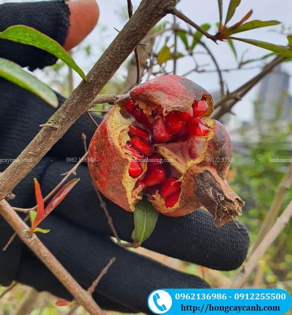 Cây lựu ăn quả
