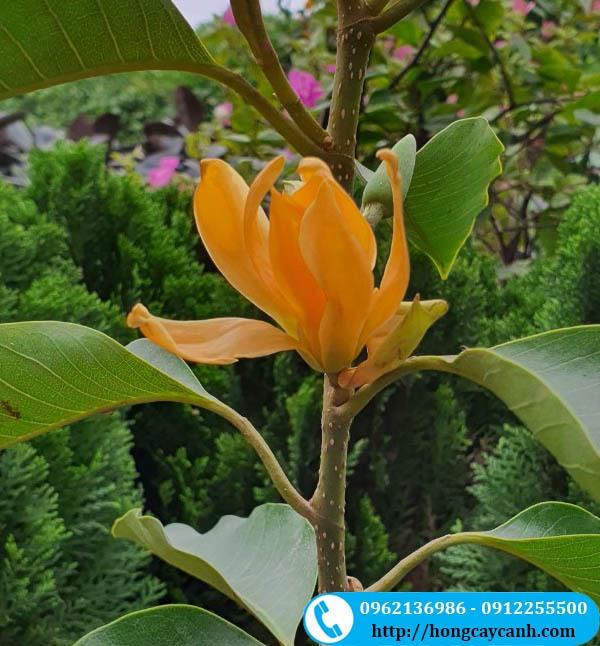 Cây Ngọc Lan hoa vàng