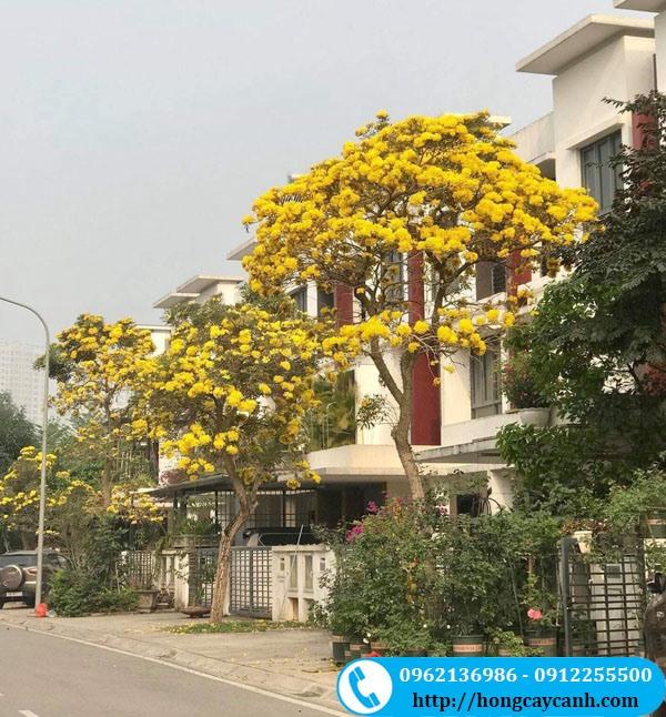 Cây Phong Linh Vàng