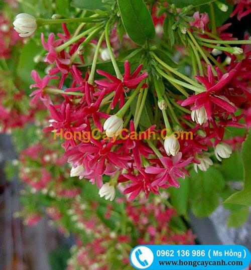 Cây Sử Quân Tử (hoa Giun)