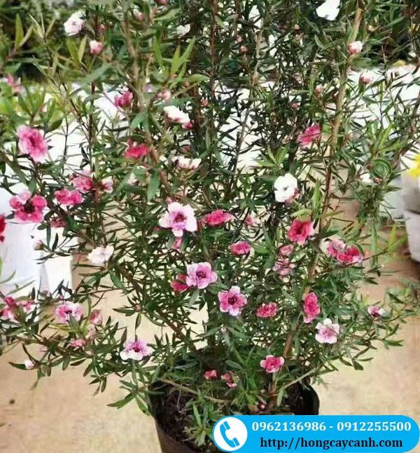 Cây Tùng Tuyết Mai