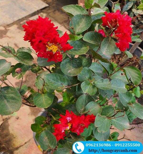 Cây tường vi hoa đỏ