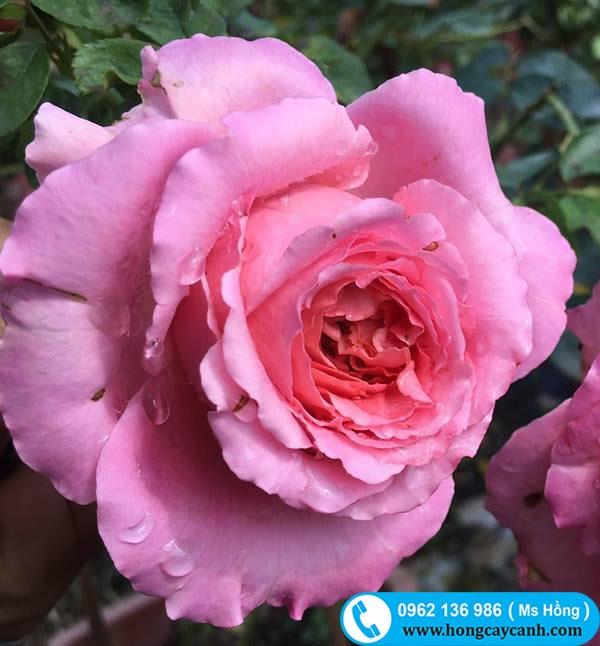 Cepheus Rose