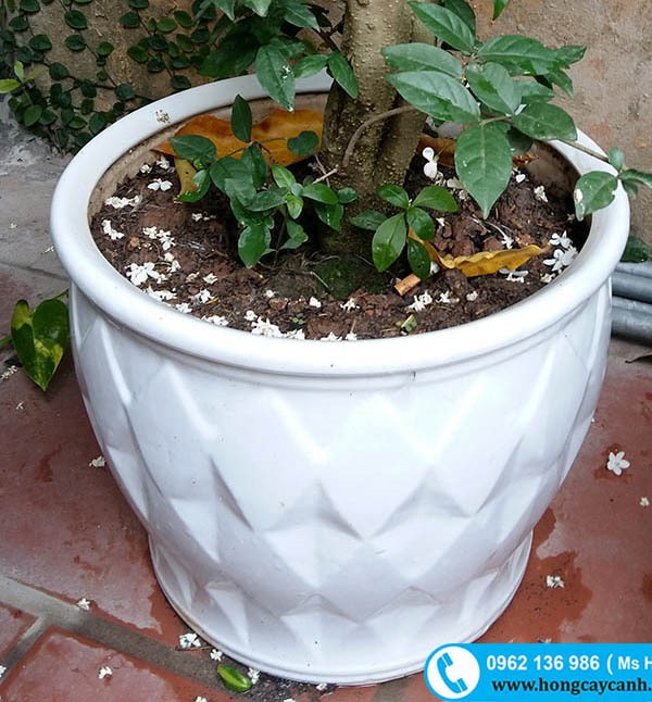 Chậu sứ tráng men trồng cây cảnh