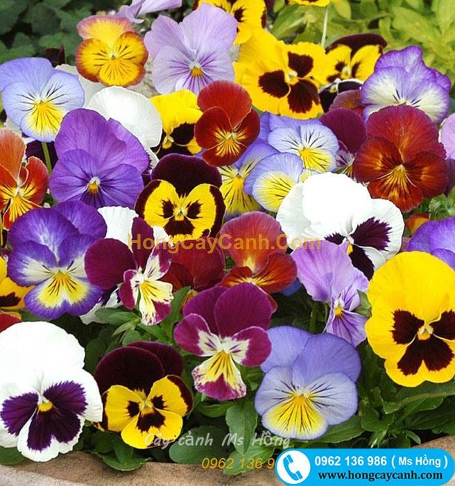 Hoa bướm Pansy