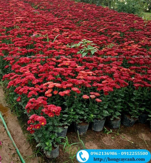 Hoa cúc chi đỏ