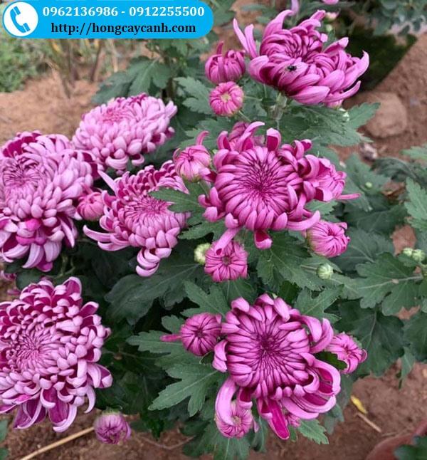 Hoa cúc đại đóa nhiều màu sắc