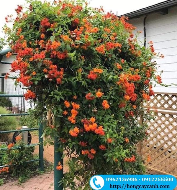 Hoa Cúc Leo Mexico