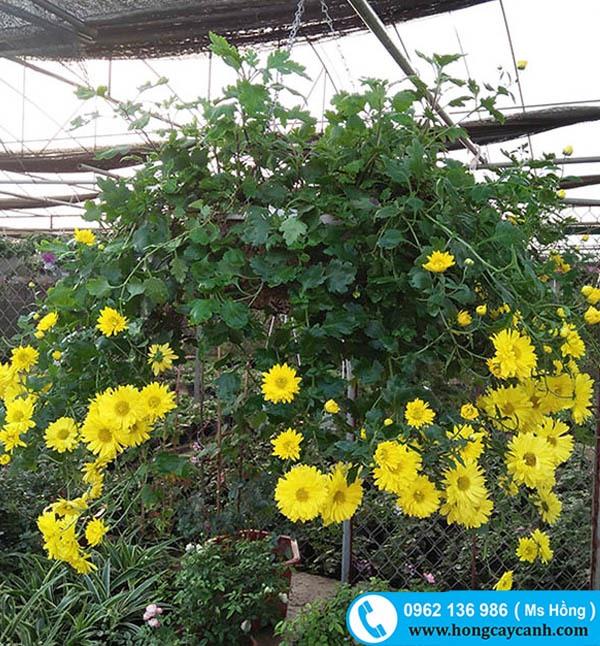 Hoa cúc vàng rủ treo