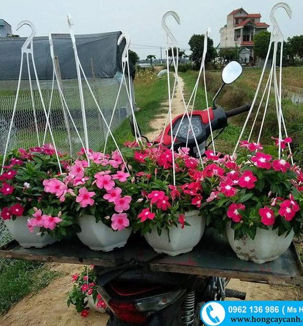 Hoa Dừa Cạn Màu