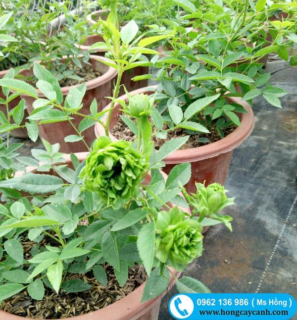 Hoa hồng xanh jane green