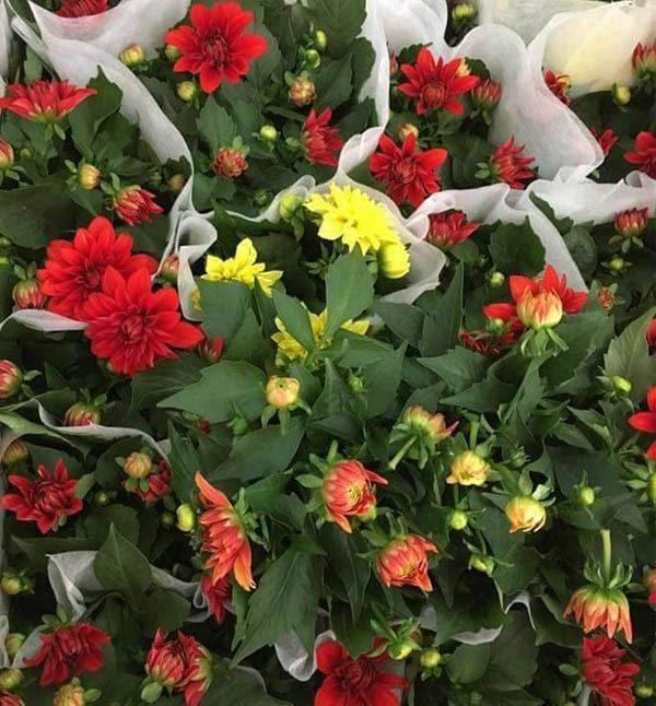 Hoa Thược Dược Lùn